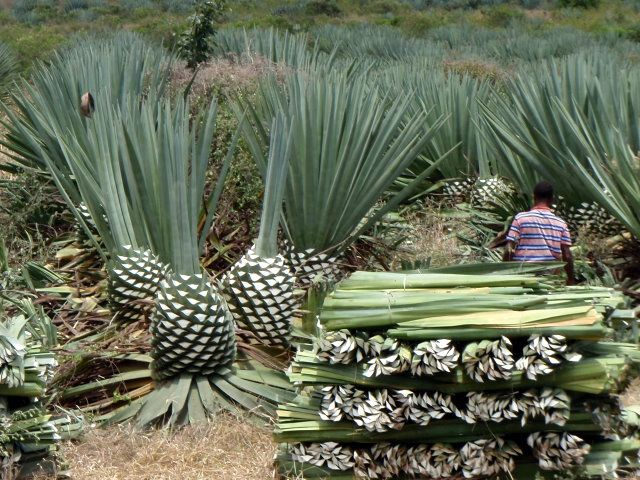 How is sisal harvested?