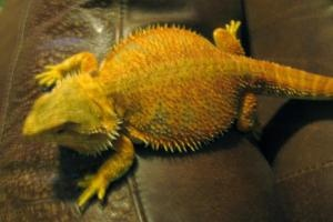 Billie the Kid is an adoptable Lizard Reptile in Columbia, SC. Please contact Main Email CARE ( caretoadopt@gmail.com ), (803) 622-9813 for more information about this pet. AGE OF PET , ADOPTION FEE, ...