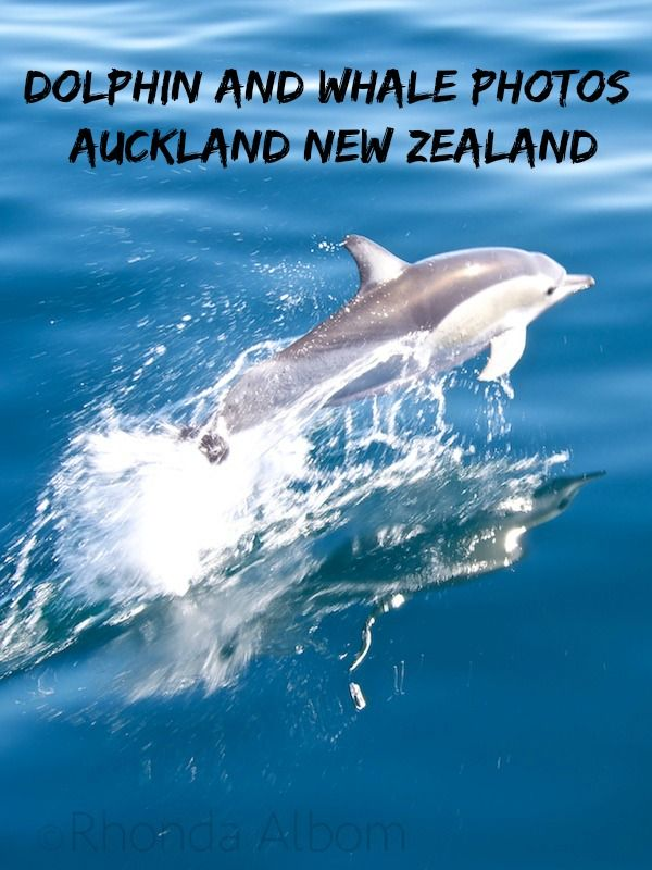 Common dolphin swimming along with our boat in the Hauraki Gulf, Auckland, New…