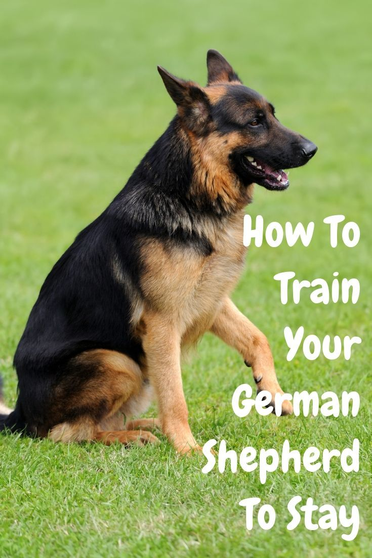 How To Train Your German Shepherd To Stay German Shepherd German Shepherd Puppies Training German Shepherd Funny