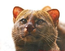 The jaguarundi live mostly in the thorny brush of Texas's Rio Grande Valley, as well as in Mexico. Although the jaguarundi has been on the endangered species list since 1976, there has never been a conservation plan for them. The lack of any conservation plan, in addition to habitat destruction by human development, is likely why seeing a jaguarundi is now a rare and exciting event, even in Texas.