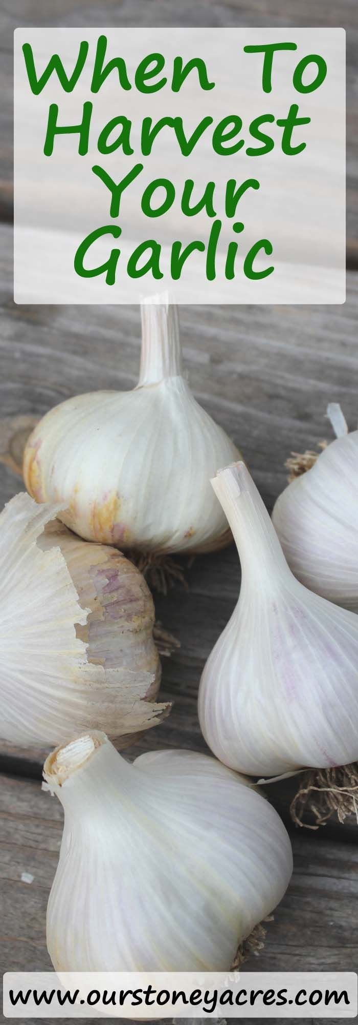 The timing for harvesting garlic can be a little tricky. This post will help you understand when you should be harvesting garlic from your backyard garden.