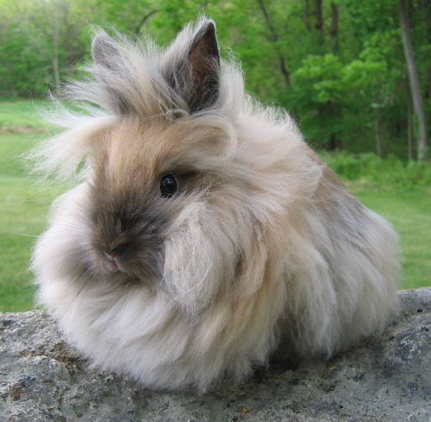 Lions Head Bunny....if I could have a pet rabbit, it would be one of these little guys!!