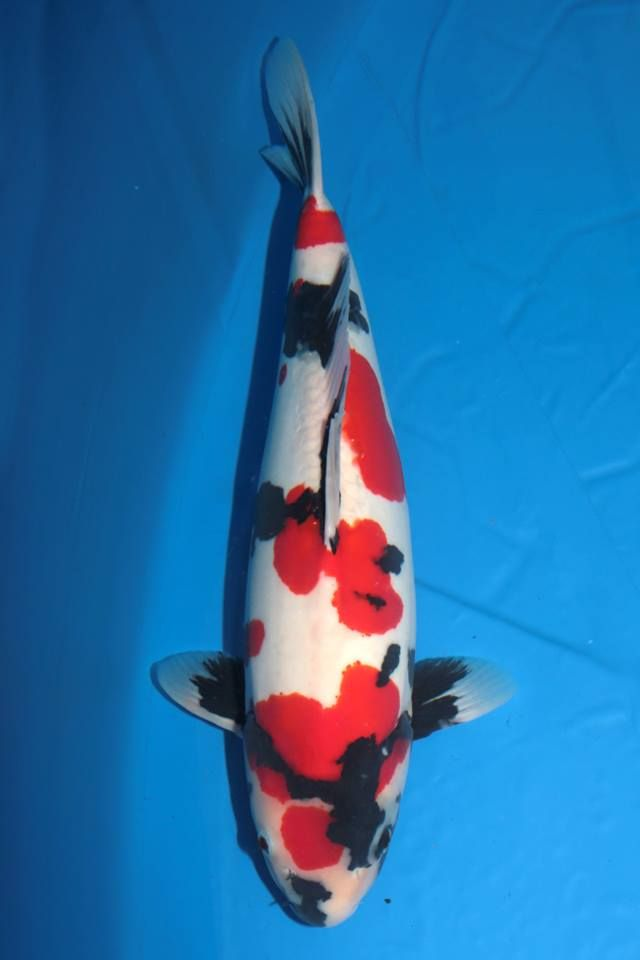 104 best images about faszination koi on pinterest for Red and white koi