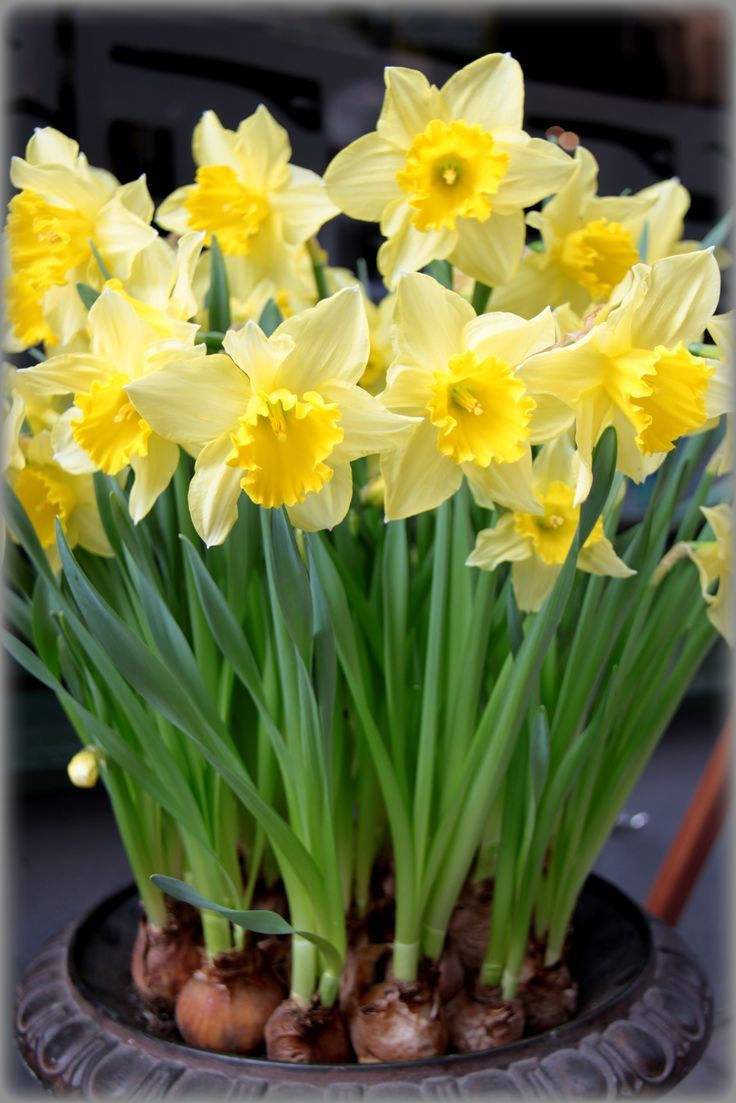 All Narcissus Species Contain The Alkaloid Poison Lycorine Mostly In The Bulb Bulb Flowers Yellow Flowers Beautiful Flowers