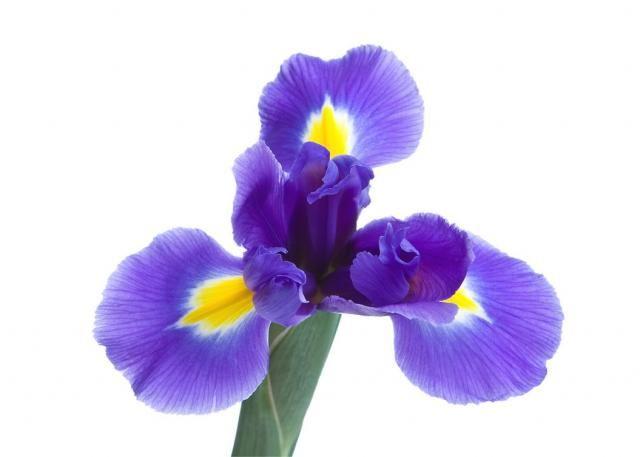 Beautiful Iris flower