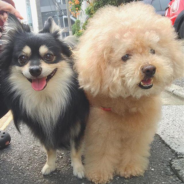 おはようございます😊❤️ .  気候のせいか昨日の夜から首コリ肩こり頭痛吐き気💔 .  薬効いてくれー😭💦 .  #犬#ワンコ#dog #dogstagram #instadog #ilovemydog #petstagram #ちわぽめ #チワワ#チワポメ#Chihuahua#Pomeranian #mix犬 #mixdog #トイプードル#toypoodle #幸せお届け隊 #愛犬 #親バカ #親バカ部 #わんこなしでは生きていけません会 #わんこのいる生活 #いぬばか部 #ポメラニアン #いぬ #todayswanko #いぬら部 #ふわもこ部