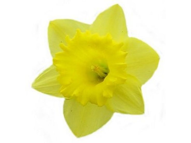 9 best daffodil days images on pinterest daffodils spring colors rh pinterest co uk daffodil clipart border daffodil clipart free