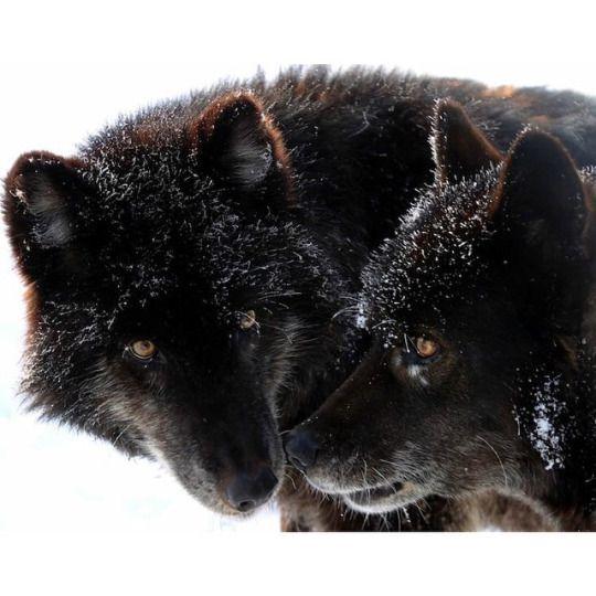 Black wolf pair                                                                                                                                                      Mehr