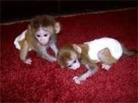 Male and Female Capuchin Baby Monkeys for sale