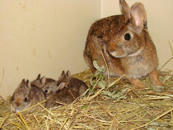 There goes Peter Cottontail: Iconic rabbit facing extinction - U.S. News