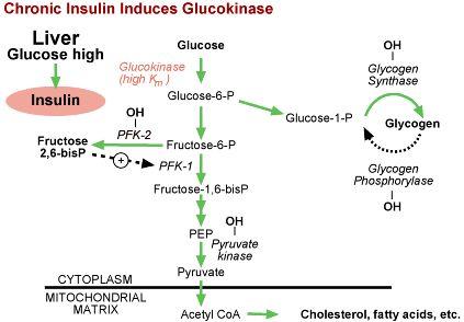 Question 4: Insulin Regulation of Glucokinase