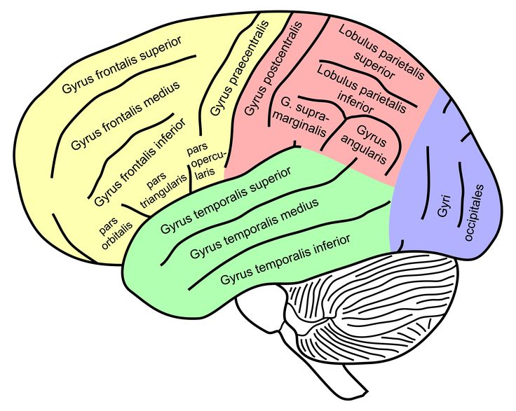 Lateral view of a human brain, main gyri labeled.