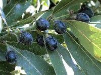 Alloro – Laurus nobilis coltivazione