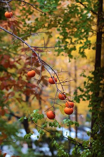 How to Grow Persimmon Trees | Persimmon Trees