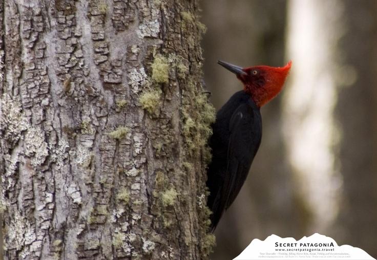 Carpintero - Bird Watching Patagonia Chile.