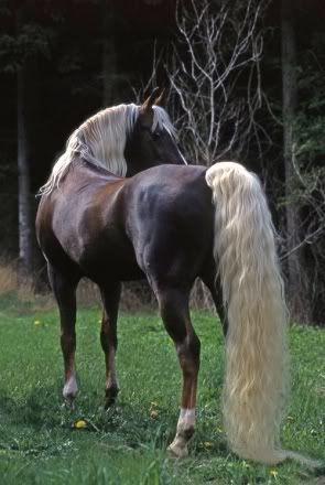 Name: Destiny (currently traveling with Echo (shannarafox stallion) in september valley Gender: Mare Breed: Morab Color: Chocolate brown with blonde mane that h