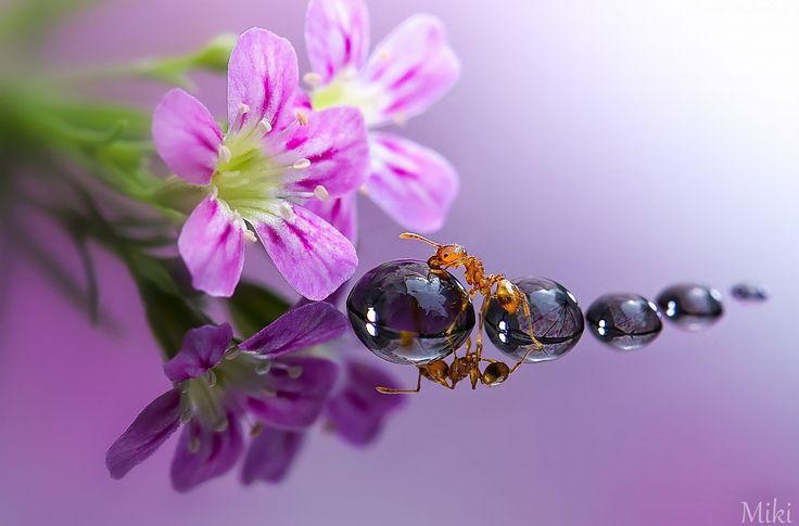 Kwiatki, Krople, Mrówka, Odbicie, Makro