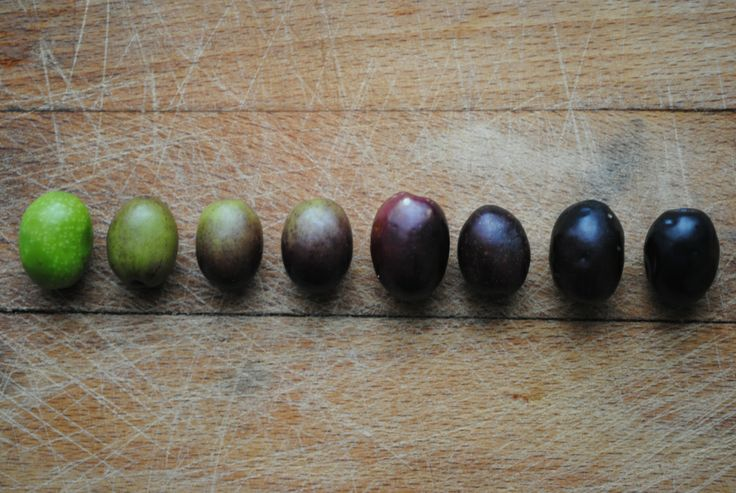 Olives at different stages of ripeness, Tuscany, Italy