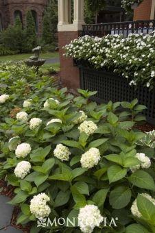 Partial-Sun Planting: Endless Summer® Blushing Bride Hydrangea