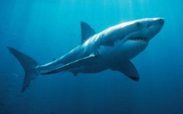 La socialità del grande squalo bianco Carcharodon carcharias (Linnaeus, 1758) chiamato anche grande squalo bianco, carcarodonte o talvolta semplicemente pescecane, è un pesce condroitto della famiglia dei Lamnidi. Unico rappresentante vi