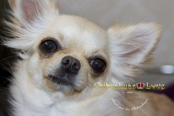 Chihuahuas Love - Los Ojos de Los Perros Chihuahua. Ojos Prominentes en…