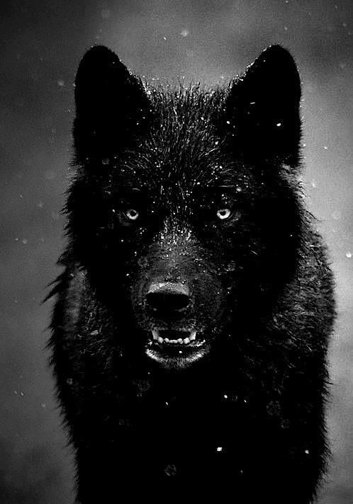 Very intense wolf!