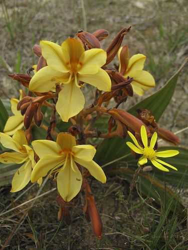 Flowers (Fynbos) 2660_ Fisherhaven, Western Cape, South Africa