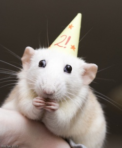 how to know when a pet rat is dying