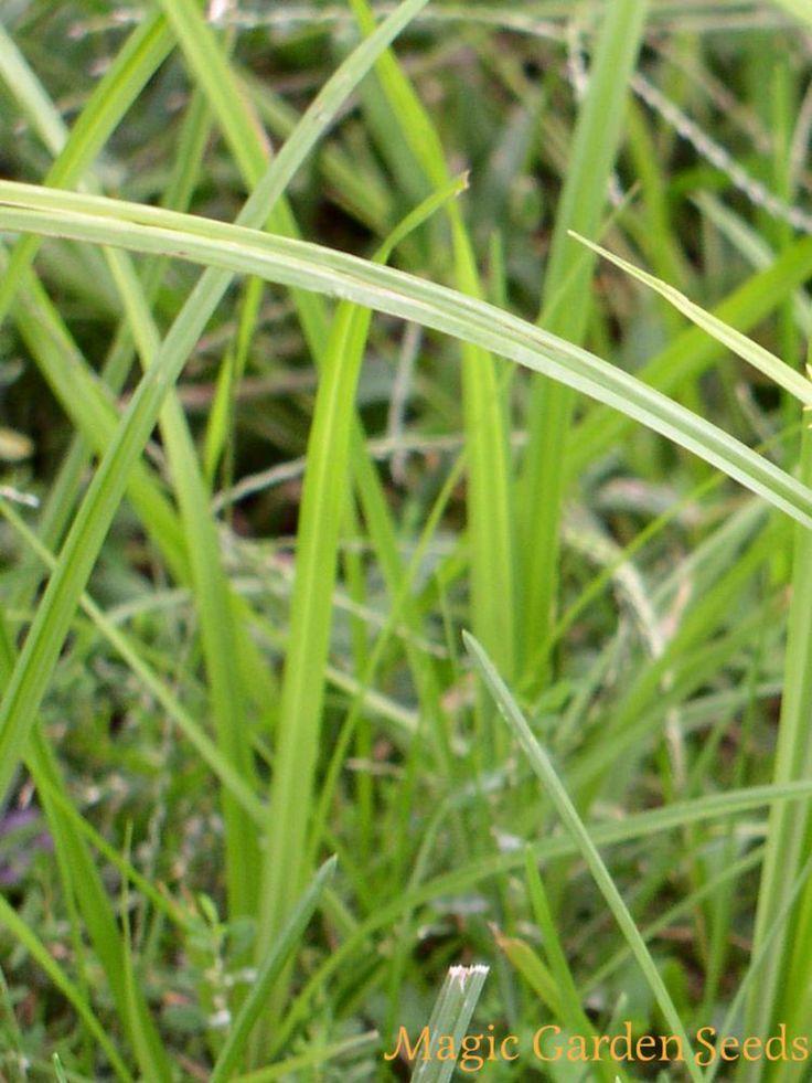 Gräser Samen | Erdmandel Chufa (Cyperus esculentus var. sativus) ist in den letzten Jahren als 'Superfood' bekannt geworden. Samen für Gräser und vieles mehr jetzt online im Shop von Magic Garden Seeds entdecken.