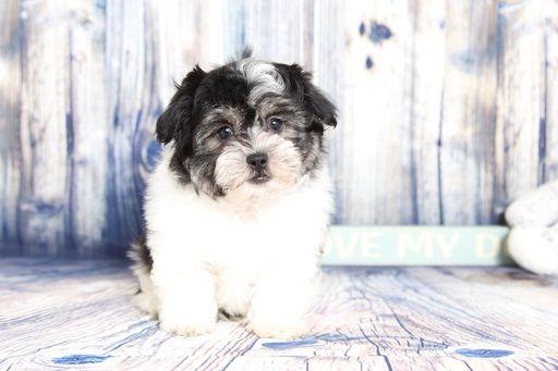 Zuchon puppy for sale in NAPLES, FL. ADN-59214 on PuppyFinder.com Gender: Male. Age: 10 Weeks Old