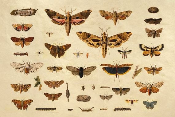 36x48 Vintage Science Plate Extra Large Poster. Butterflies and Insects - 036