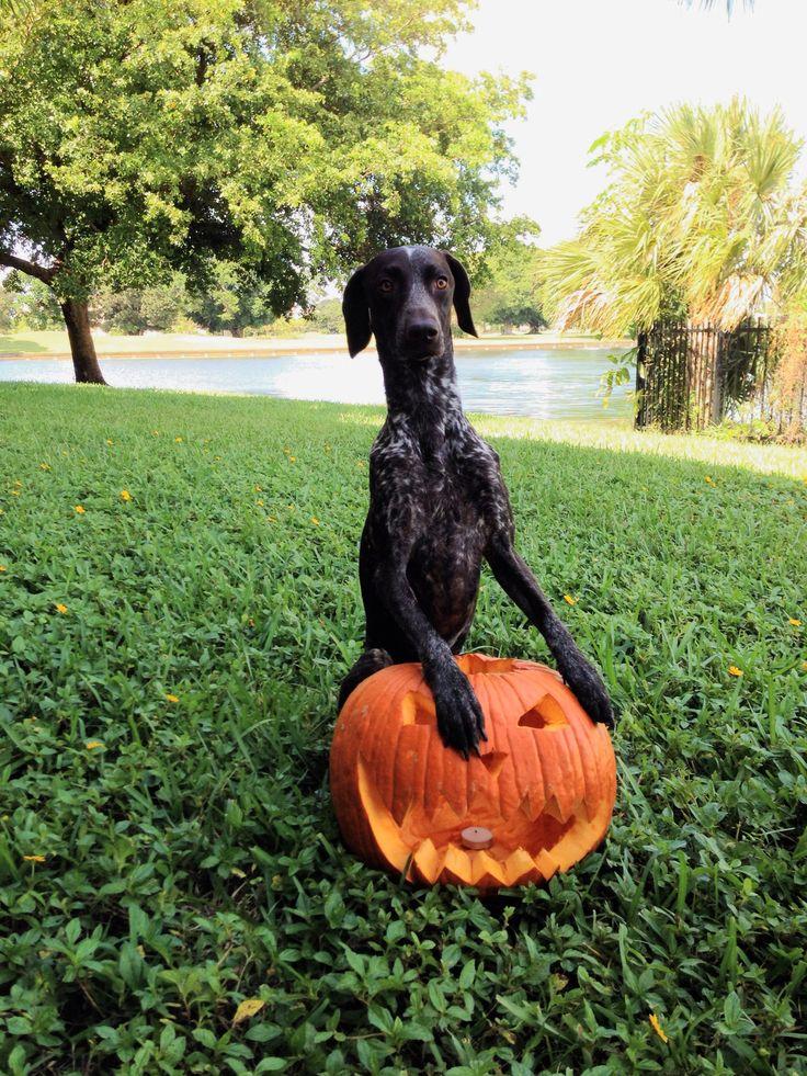 German Shorthaired Pointer celebrating Halloween!