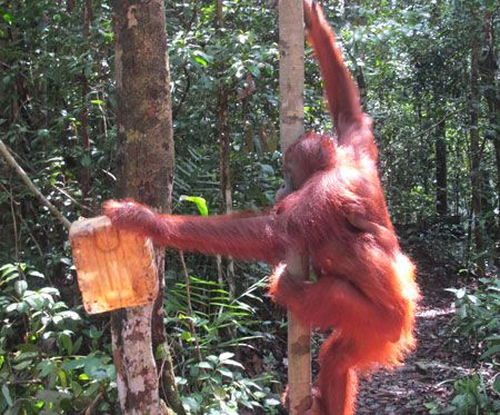 Endangered orangutans live in a few isolated lowland tropical rainforests on the islands of Sumatra and Borneo.