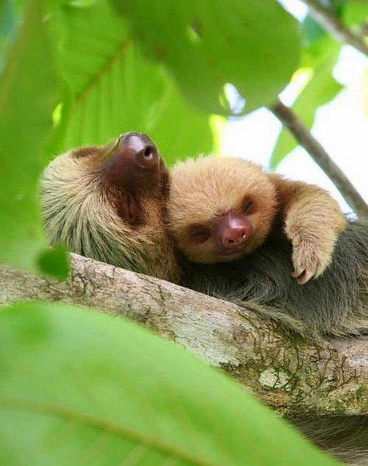 baby sloth taking nap with her mom :)