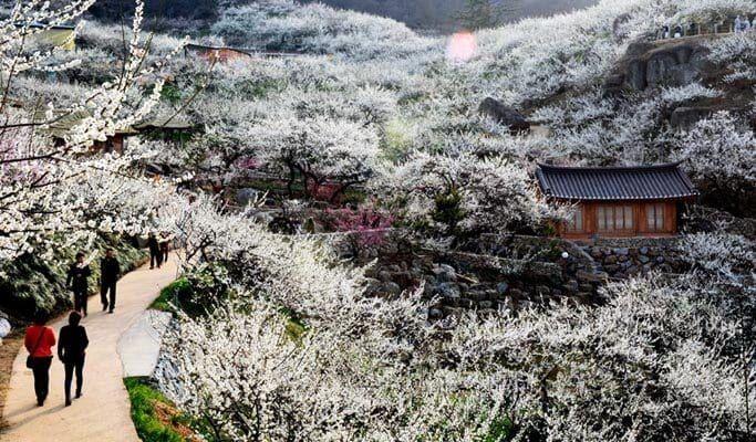 Cherry Blossom Korea 2020 Forecast Cherry Blossom Blossom Travel Blog
