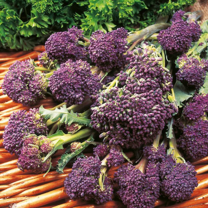 Broccoli (Sprouting) Seeds - F1 Claret - Suttons Seeds and Plants