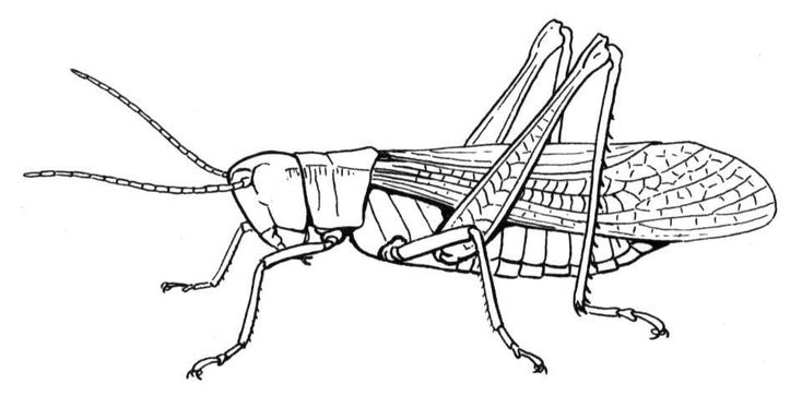 Happy Grasshopper Coloring Page Jpg 961 215 475 Heart Of Grasshopper Coloring Page