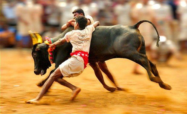 Will remove bull from Jallikattu, just to make it legal: BJP  Read More>> http://www.oneworldnews.com/will-remove-bull-jallikattu-just-make-legal-bjp/  #oneworldnews #Jallikattu #bull #BJP