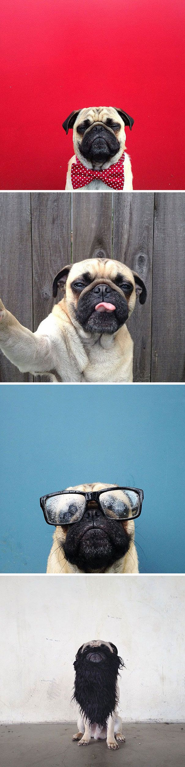 norm-the-pug-dog-photography-adn