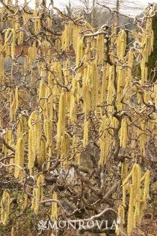 Harry Lauder's Walking Stick (Corylus avellana 'Contorta') has showy greenish-yellow catkins in winter