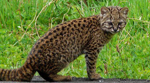 Leopardus guigna. Le pelage du kodkod est de couleur chamois à brun grisâtre. Son pelage montre des taches noires et arrondies sur fond marron. La robe est de couleur plus claire sur l'abdomen et les taches forment de bandes. La courte queue est touffue et marqué avec d'étroites bandes noires. Le mélanisme n'est pas rare et les rayures ainsi que les taches sur les individus noirs sont souvent détectables dans la lumière vive.