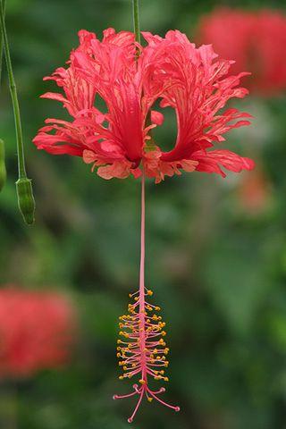 Hibiscus schizopetalus - Flickr - Photo Sharing!