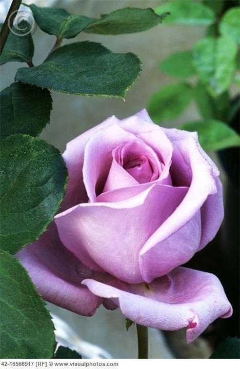 beautiful lavender hybrid tea rose