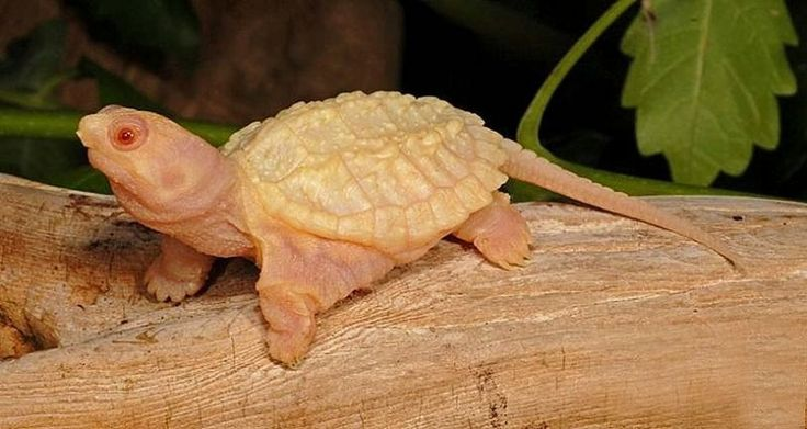 Albino Common Snapping Turtles for sale from The Turtle Source