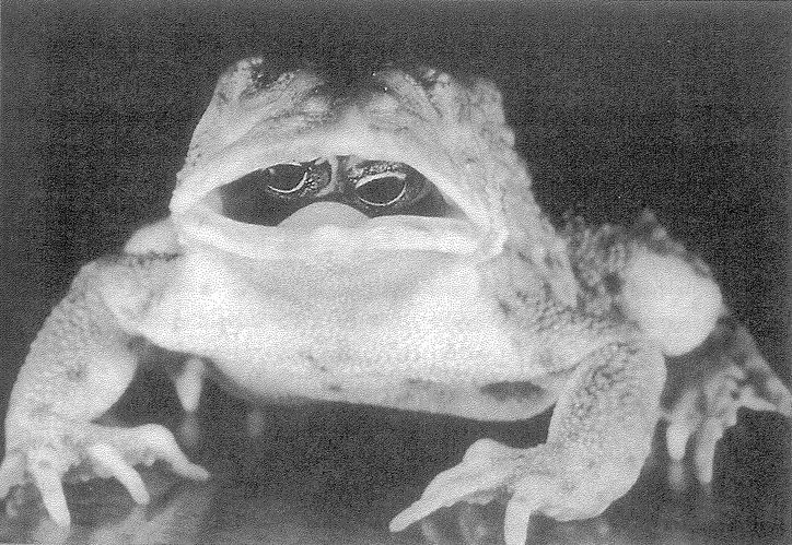 This is a larger picture of a Goldschmidt toad that has a mutation that caused its eyes to grow inward into its mouth. Therefore it needs to open its mouth to see. It was found in a garden in Canada. Ick.