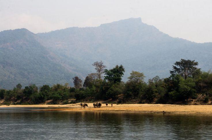 Buffaloes Nam Kading river, Laos