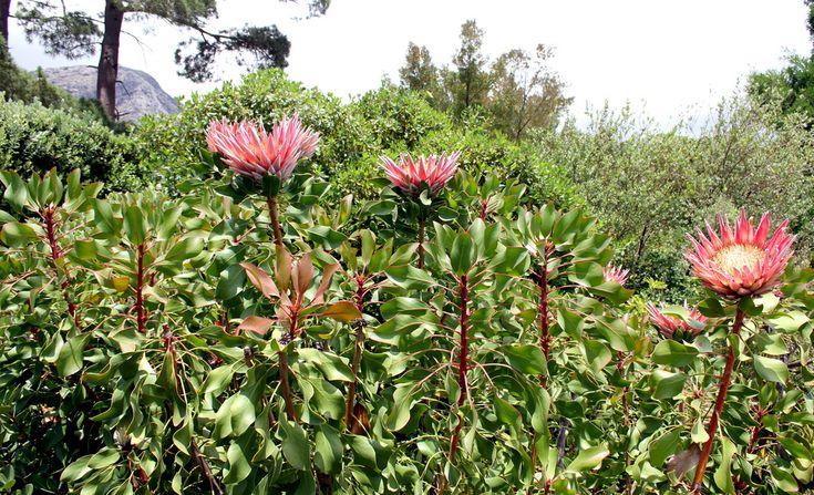 King Protea Bush | Flickr - Photo Sharing!