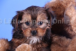 Shorkie Puppies For Sale in Ohio - Dogs For Sale - Morkie Puppies and Yorkie Puppies For Sale - Best Yorkie Breeders - Toy Breeds