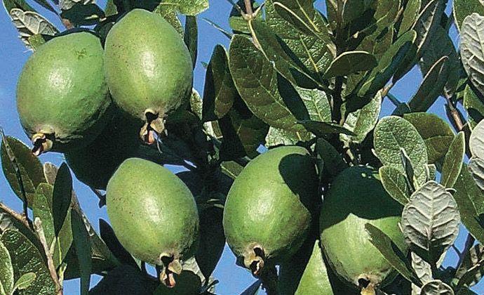 How To Grow Feijoas - Mitre 10
